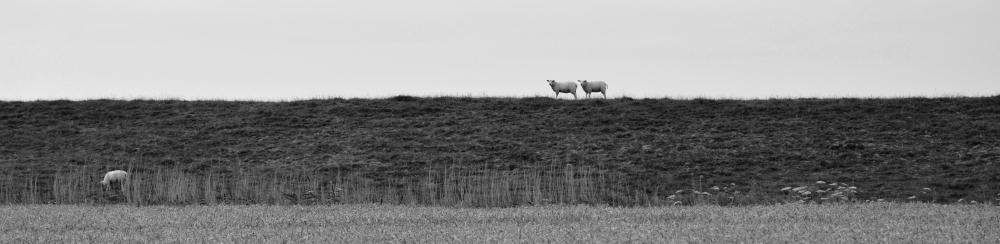 Sheeps zw